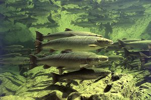The Atalntic salmon part.5